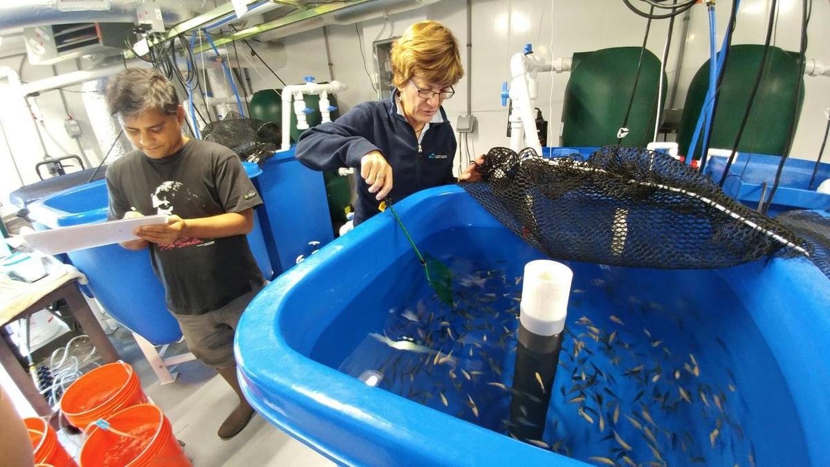 Pallab Sarker and Anne Kapuscinski (who isnow at UCSanta Cruz)work with Nile tilapia
