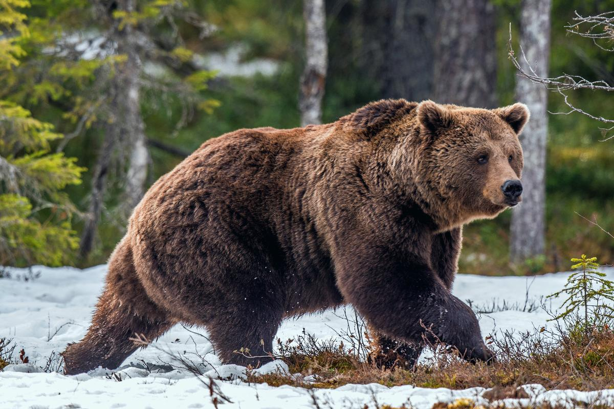 Hibernating animals, such as bears, may provide genetic clues for treating obesity and related diseases