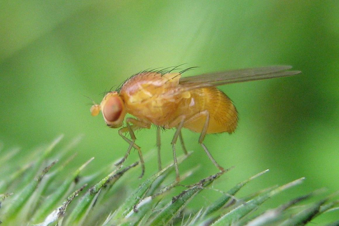 The researchers tested the new method on fruit flies genetically altered to model the diseases