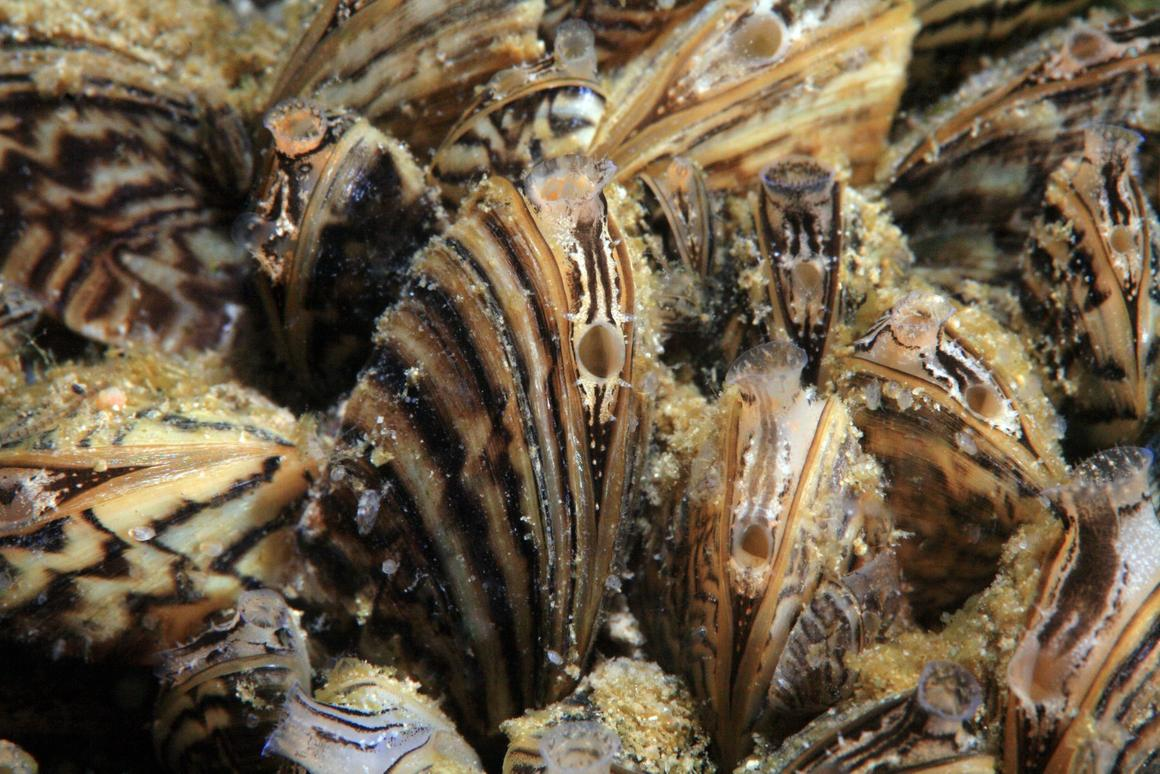 Originally native to Eastern Europe and Western Russia, zebra mussels arrived in North America's Great Lakes by travelingin the ballast water of ships.