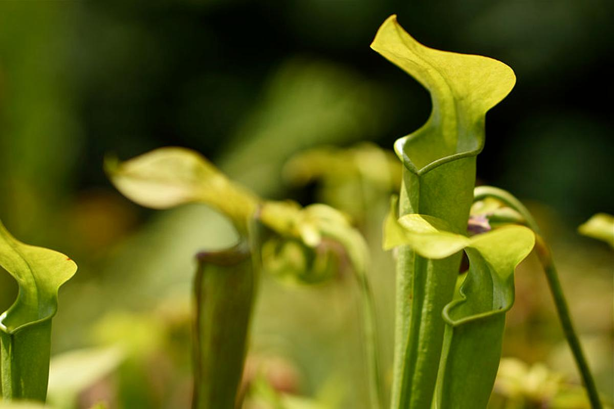 The pitcher plant – if you're an insect, watch out for its slippery rim