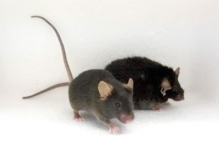 A healthy weight mouse (L) and obese mouse (R) in a study showing thatdeficits in the D2 dopamine receptor contributes toinactivity inobese mice