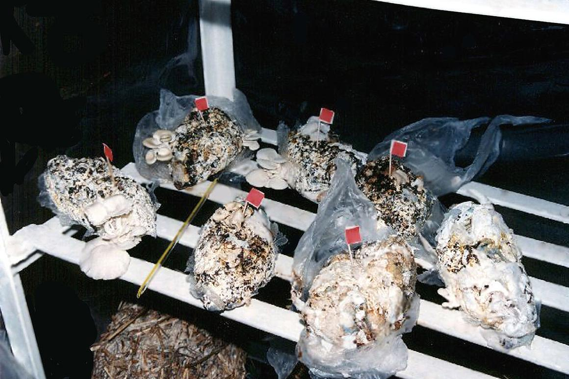 Mushrooms grown in used diapers help reduce waste volume by up to 80 percent