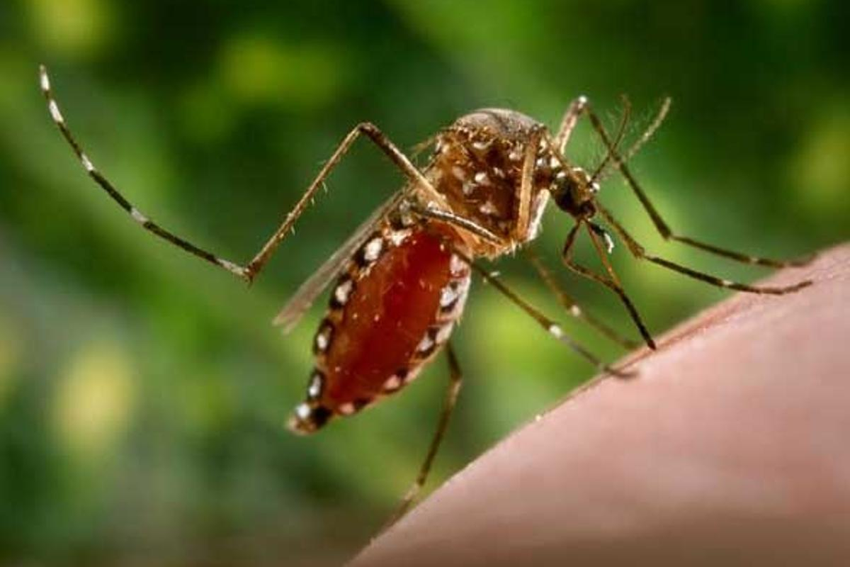 Dengue is transmitted by the Aedes aegypti mosquito and 2.5 billion are exposed to it across the globe
