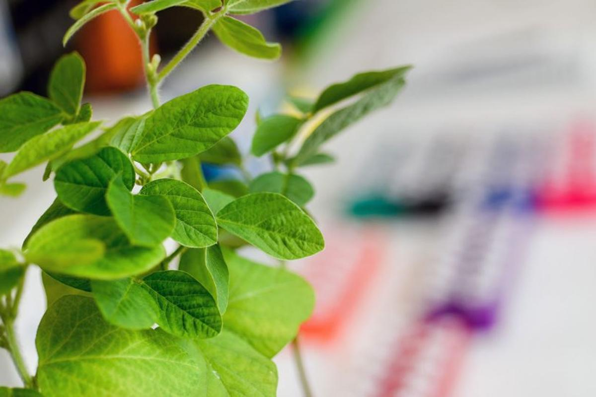 The researchers' genetically edited, but not GMO, plants growing in the lab