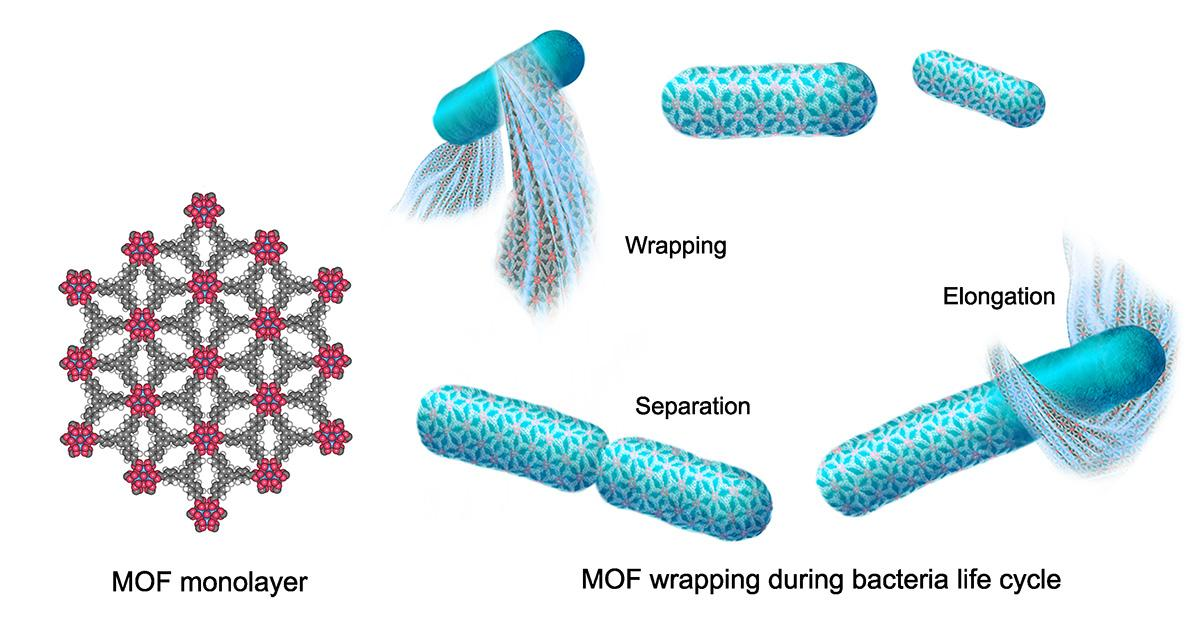 A diagram of the metal organic framework (MOF) structure (left) and how it interacts with bacteria over time