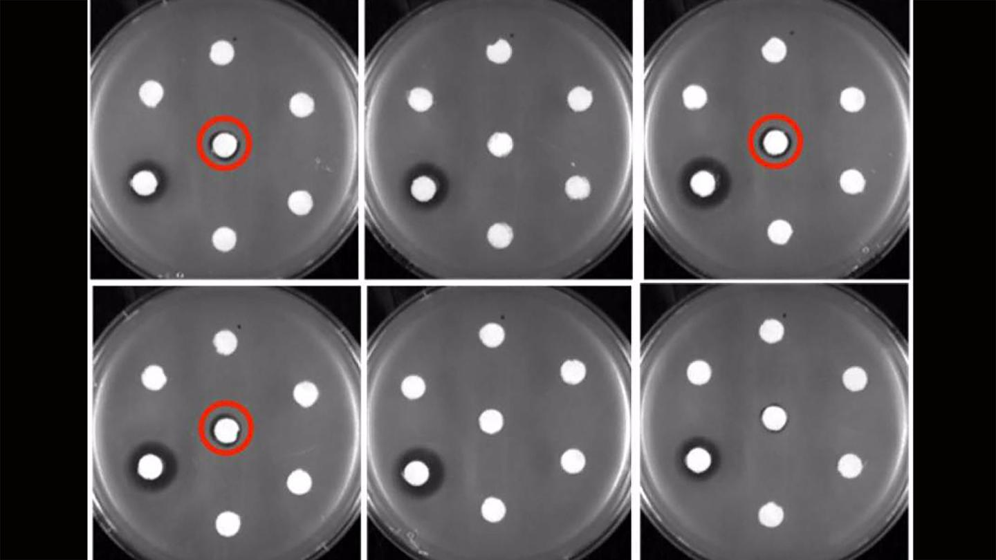 Buffalo researchers have managed to grow new forms of erythromycin, seen here in petri dishes (circled in red)