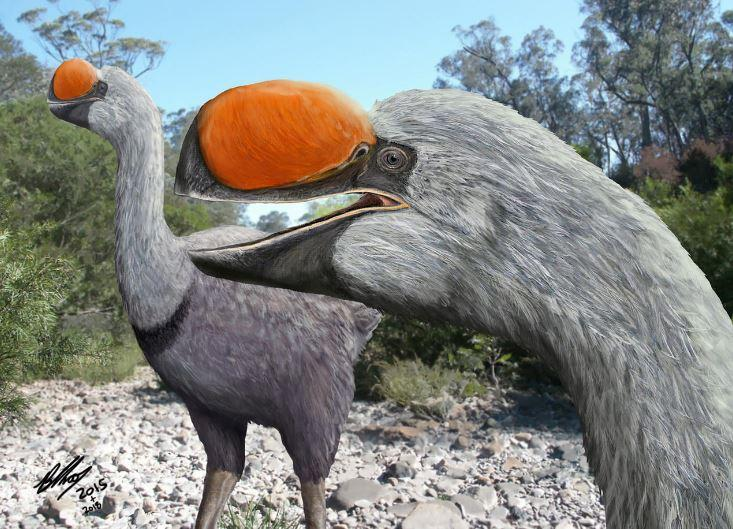 An artist's impression of a species of dromornithid, a family of extinct giant flightless birds that walked Australia for millions of years