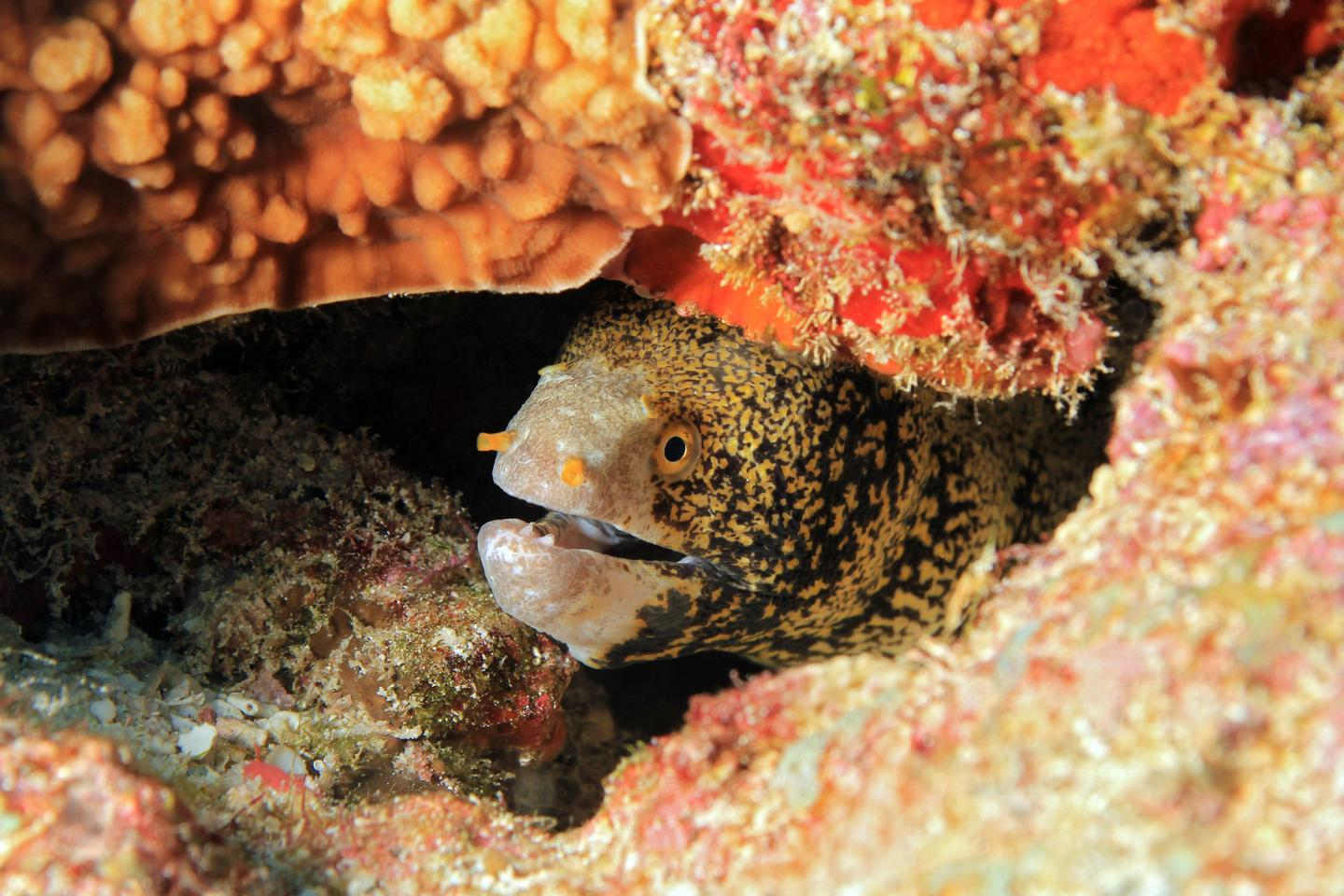 The snowflake moray eel (Echidna nebulosa) is found throughout the Indo-Pacific region
