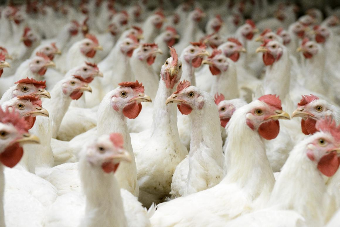 Researchers in Nigeria have developed a process that mixes chicken manure and an invasive weed together to create biofuel