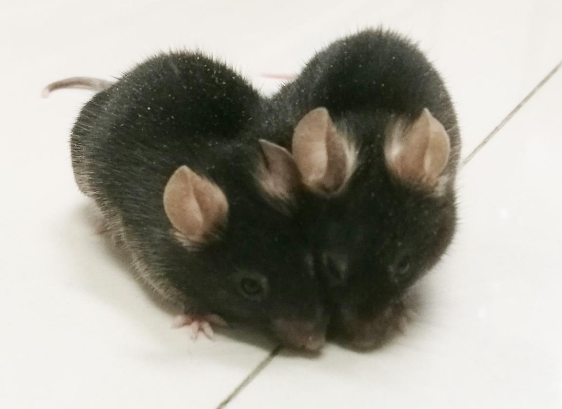 Two mice a surgically attached so they share a bloodstream allowing scientists to explore where blood-traveling proteins can infiltrate the brain