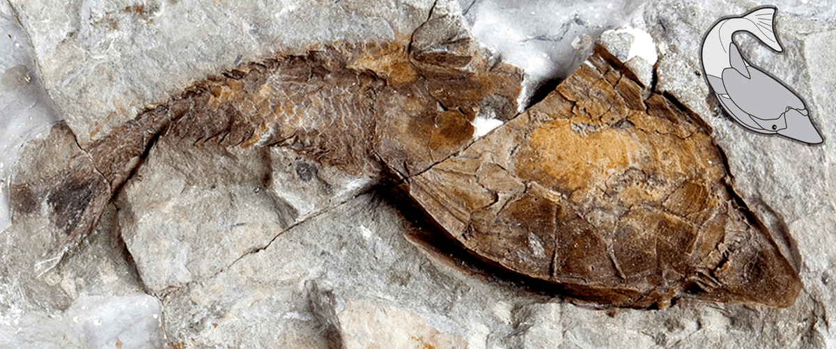 A fossil heterostracan, whose puzzling skeleton has finally been identified as the oldest example of bone in the fossil record
