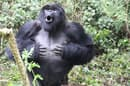 A male mountain gorilla lets loose with a good thumping