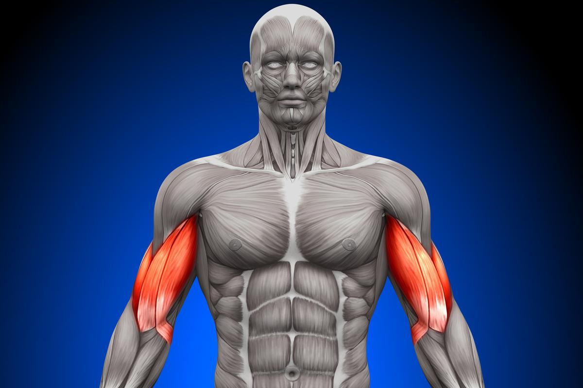 Researchers have discovered an enzyme that could aid in the repair of muscles