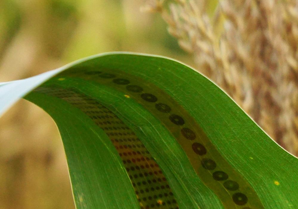 Two of the sensor strips, applied to the leaf of a corn plant