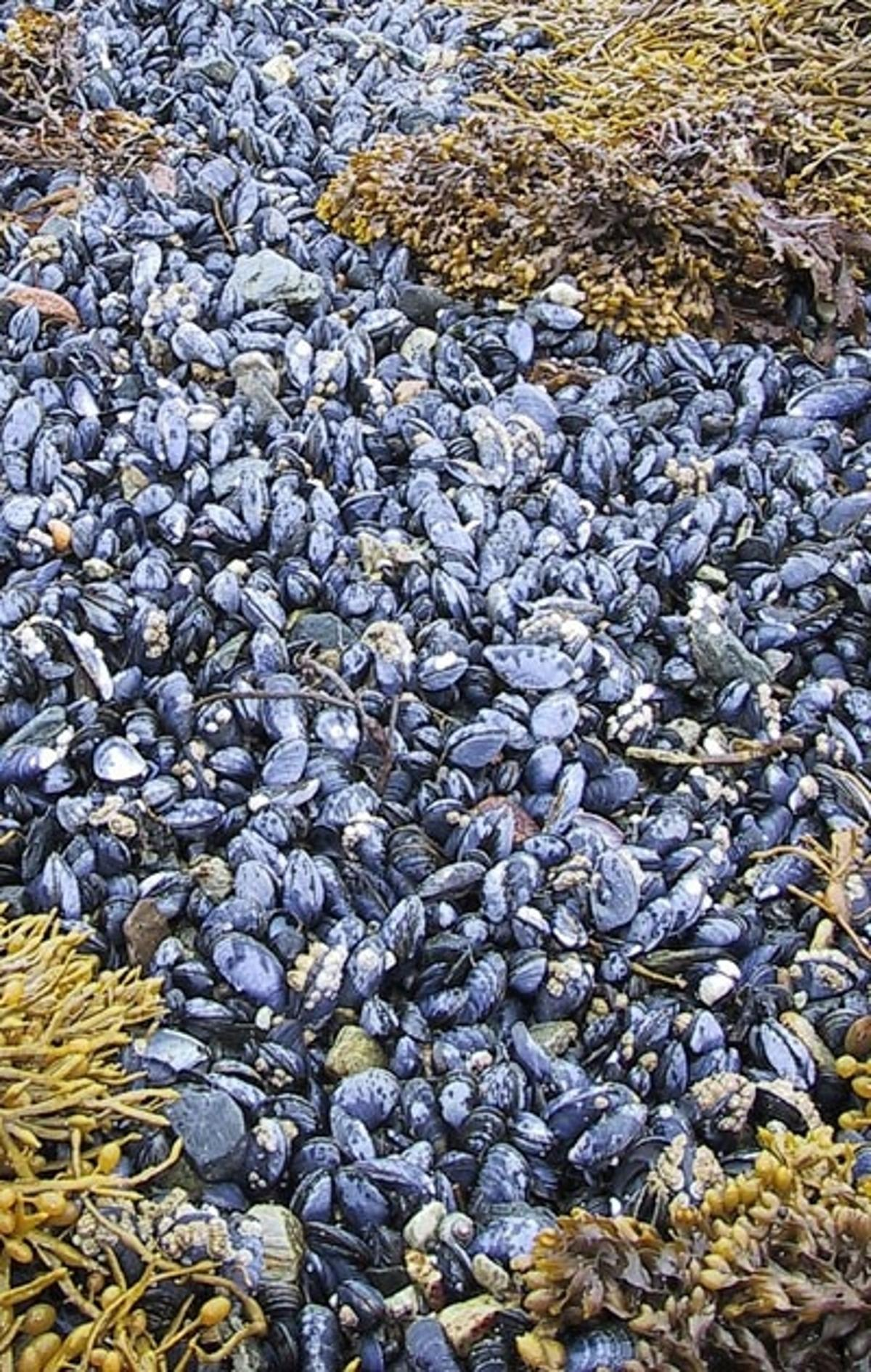 Marine Mussel glue could be the new natural synthetic adhesive after surgery