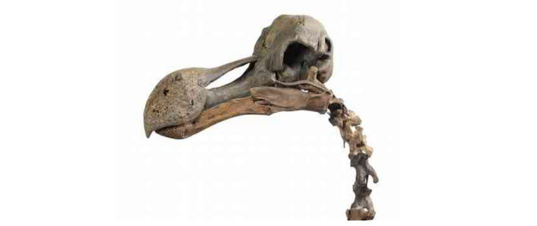 The dodo skeleton is the first to go on sale in almost a century