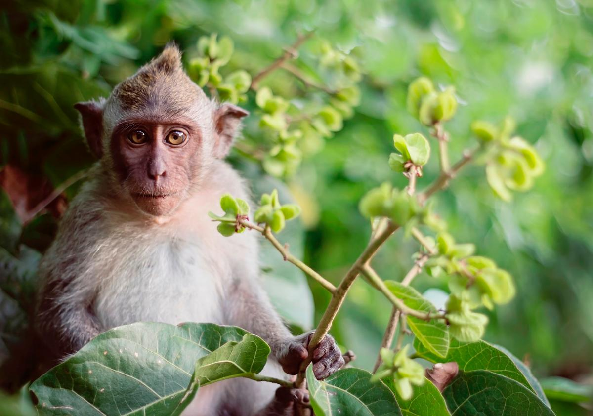 The world's first clones of a CRISPR gene-edited long-tailed macaque have been born in China