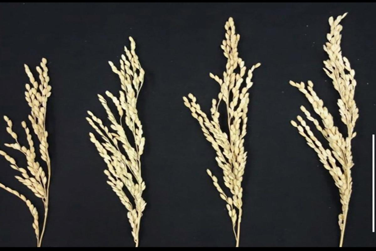 On the far left is a wild, unenhanced rice plant, and the other three display improved growth and grain from the new bioengineering technique