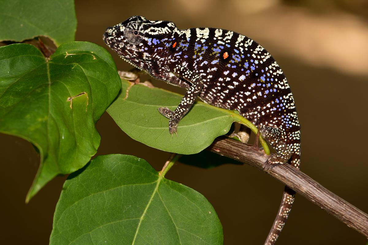 The Voeltzkow's chameleon has been rediscovered in the wild, for the first time since 1913
