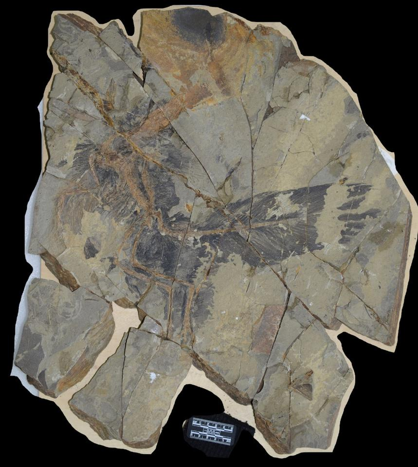 The slab of rock where the fossils of the dinosaurCaihong juji were found