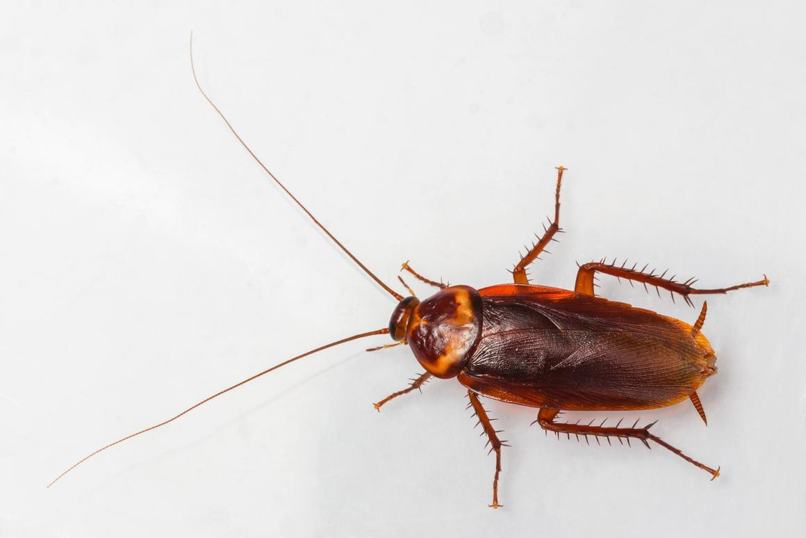 A new Japanese study reveals that the female American cockroach's penchant for co-operation could explain why there are so many of them