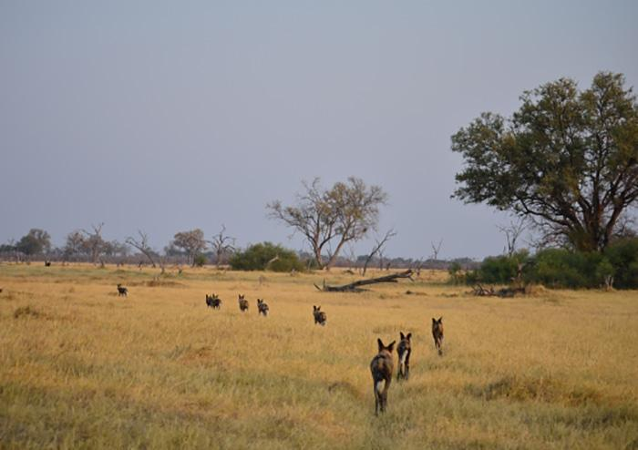 New research has found that African wild dogs usesneezes to vote on whether or not the pack should move off and start hunting its next target