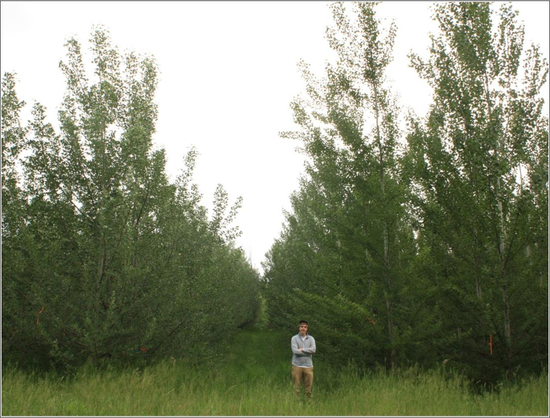 A multi-year study has shown that poplar trees can be genetically-modified to be sterile, meaning the GMOscan't propagate outside of designated farms