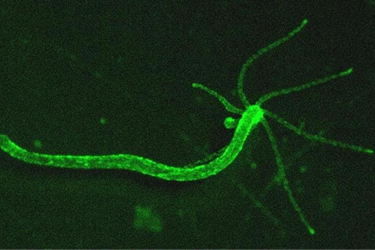 Hydra neurons can be tracked by a green fluorescence indicator, allowing for behavioral patterns to be connected to nervous system activity