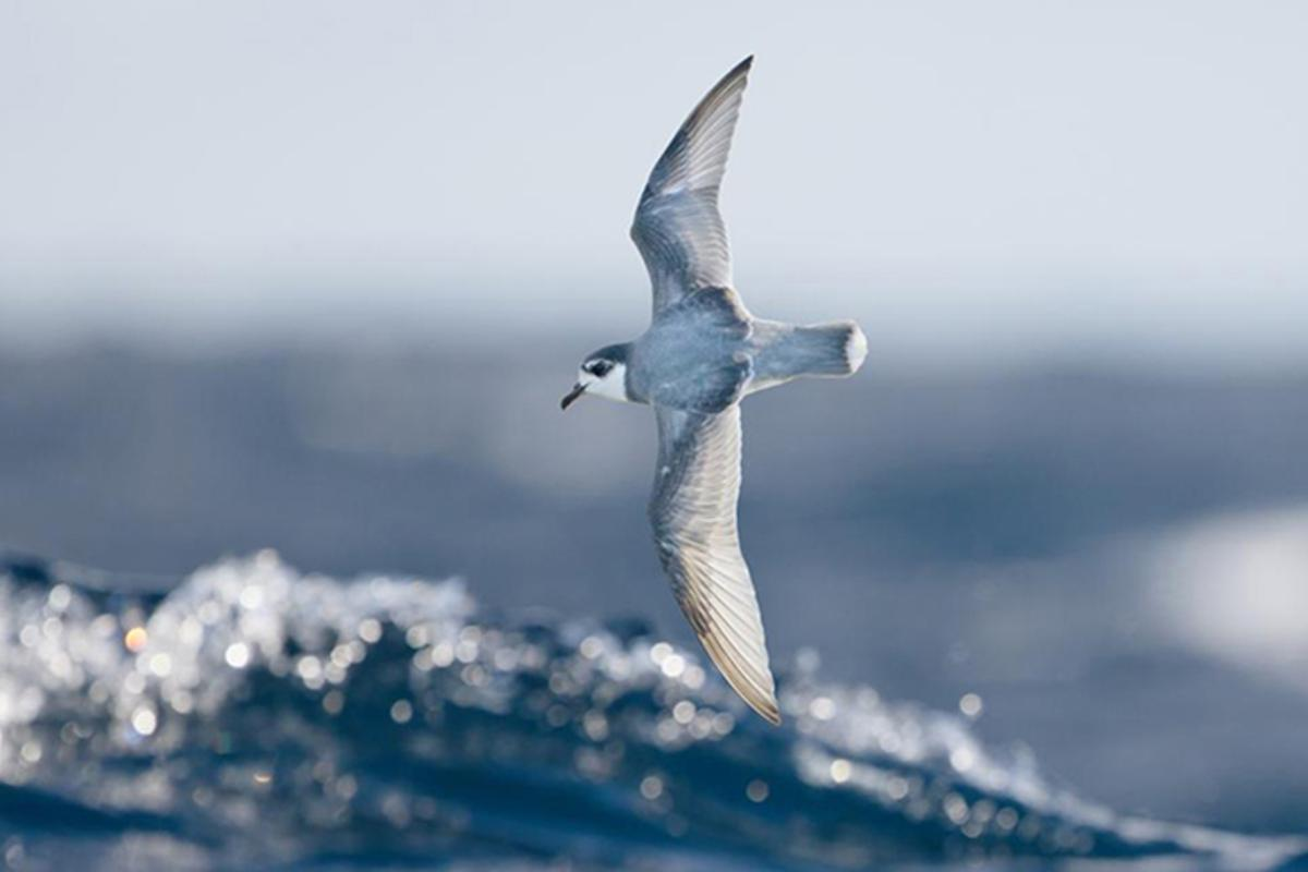 A blue petrel in flight