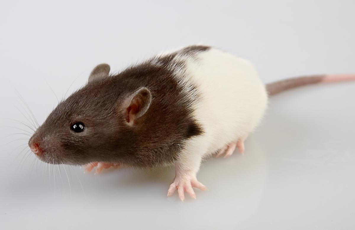 Researchers have used a CT scanner and a 3D printer to create a physical model of a live rat's skeleton (Photo: Shutterstock)