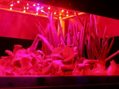 Researchers have found a way to make leafy greens even healthier by exposing them to short-term light treatment with a solid-state illuminator, reducing harmful nitrate concentration by 44% - 65% and boosting nutritional value (Photo: Akvile Urbonaviciute)
