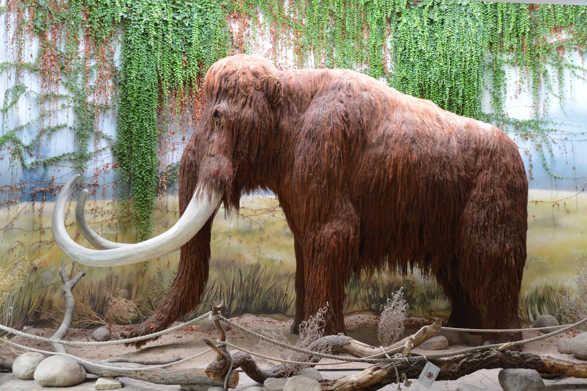 Scientists have managed to track the movements of an individual mammoth over his lifetime
