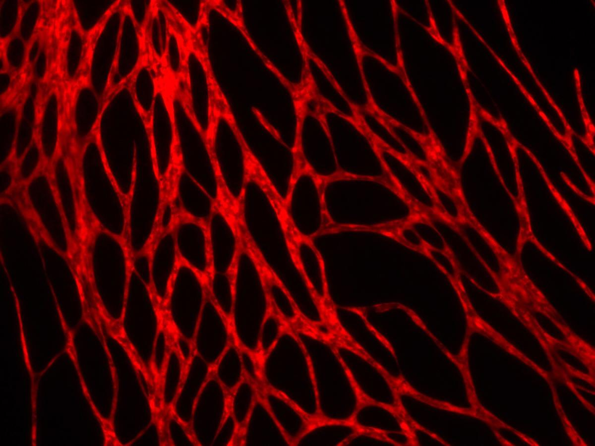 A microscope image of the vascular system within the bioprinted skin