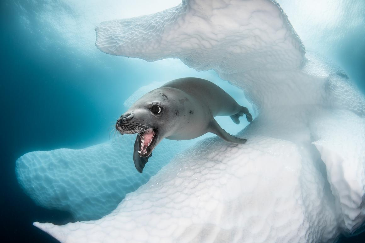 Crab-Eater Seal, by Greg Lecoeur, took first place in Cold Water and the overall Best of Show award in the 2019 Ocean Art Underwater Photo Competition