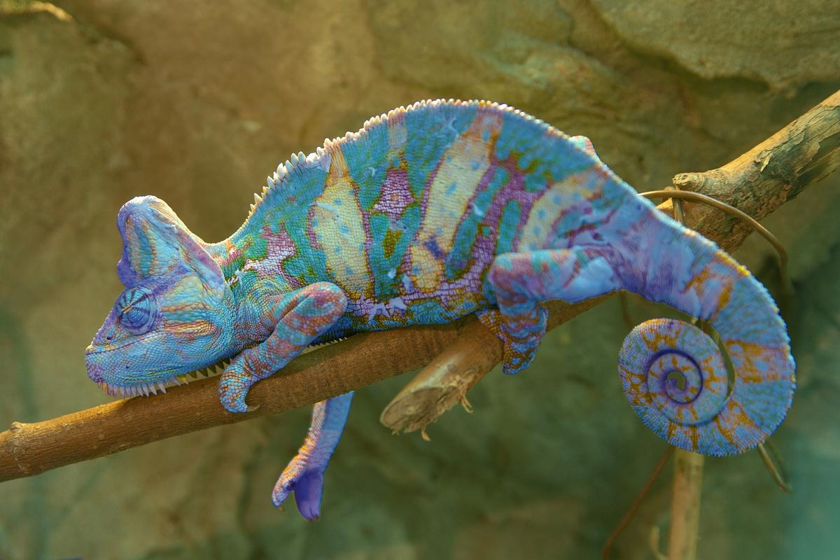 A chameleon, making full use of the nanocrystals in its skin