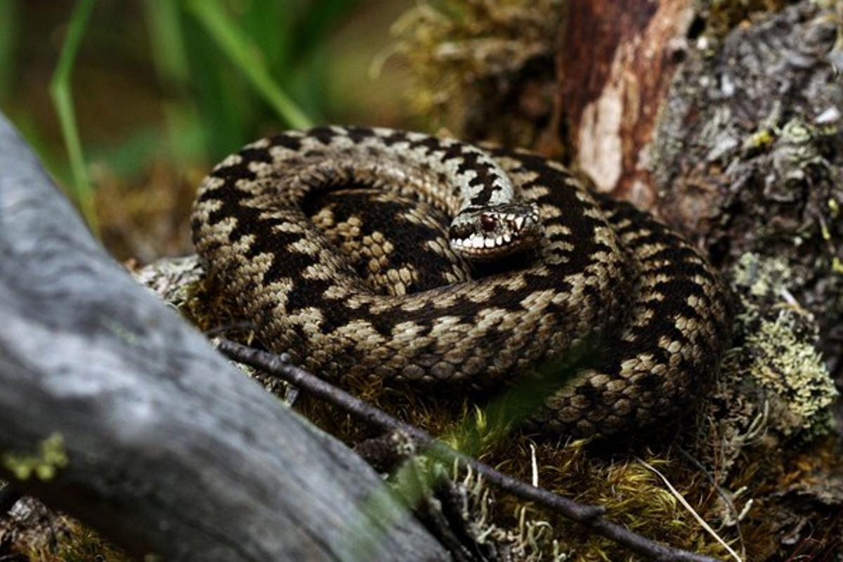 The European viper's zig-zag pattern helps the snake remain undetected, provides a warning of the snake's dangerous defense, and can produce an illusionary effect that may hide the snake's movement as it flees