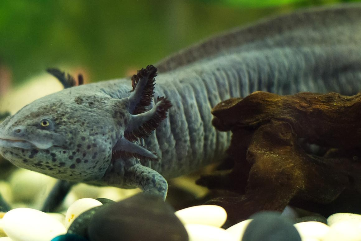 The axolotl's genome has been sequenced, which could potentially unlock its limb regeneration secrets