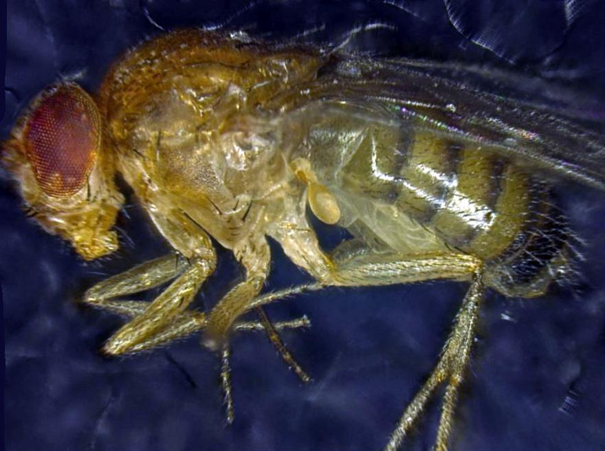 Researchers have increased the lifespan of the common fruit fly by activating a gene repsonsible for eliminating unhealthy cells (Photo: Institute for Cell Biology, University of Bern)