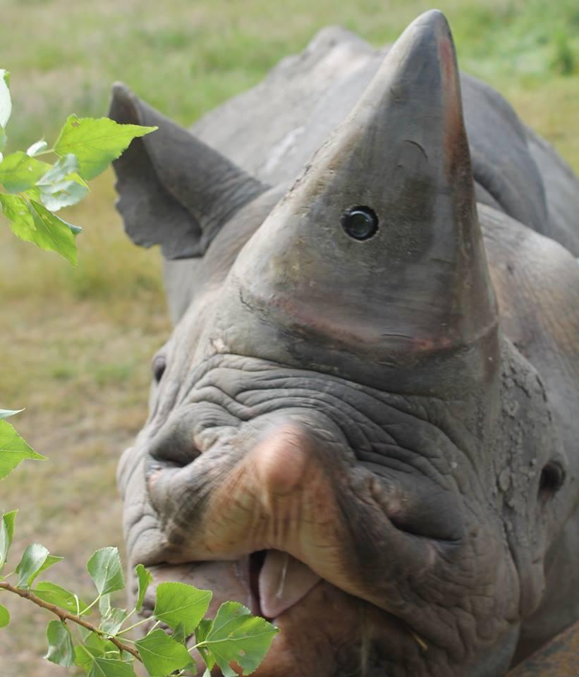 Along with the horn-cam, the Protect RAPID system also incorporates a GPS satellite collar and a heart rate monitor, which are likewise put onto sedated wild rhinos