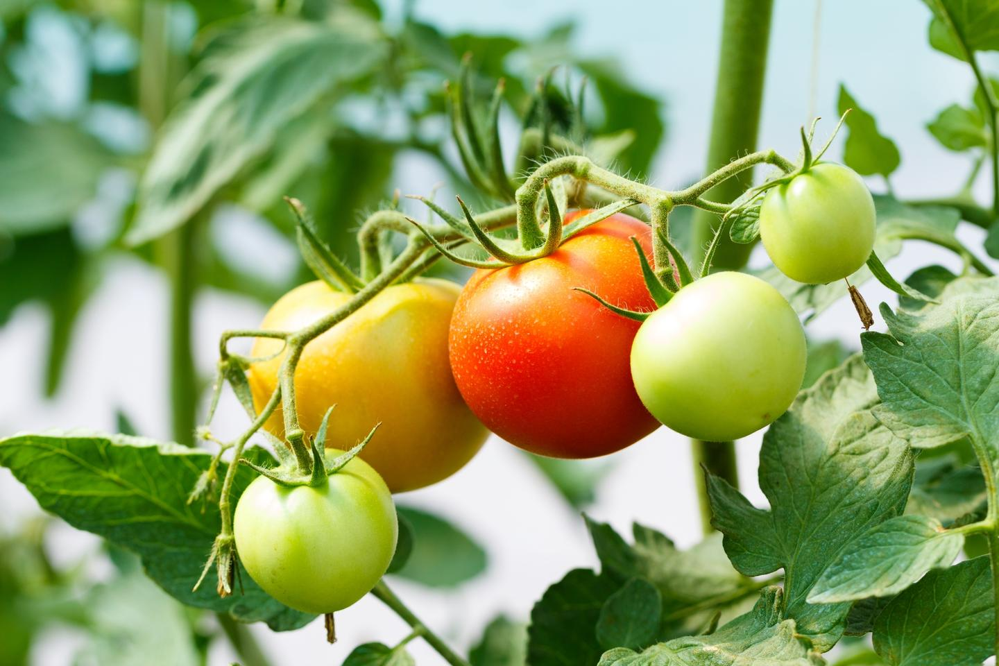 """The research indicates that tomato fruits can send electrical warning signals """"upstream"""" to the main plant"""