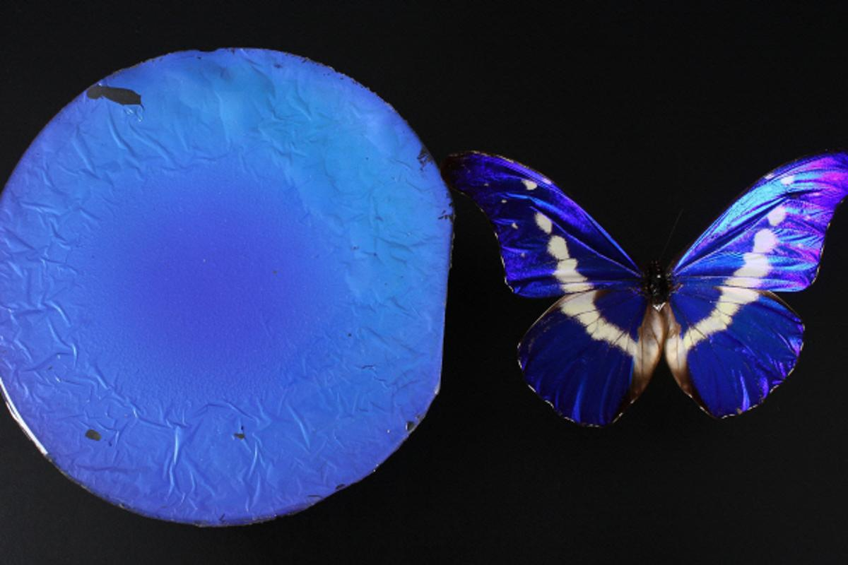 A sample of the biomimetic film, and a morpho butterfly