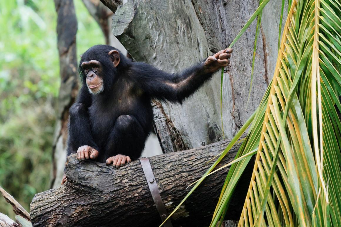 The researchers are unsure whether the water-dripping technique used by some chimpanzees actually improves access to water