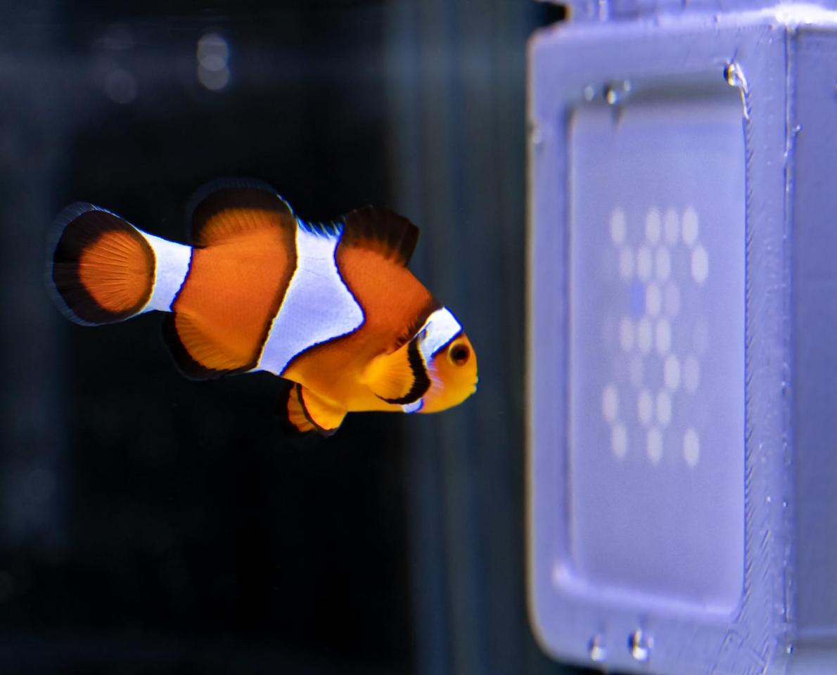 A clownfish checks out the programming on the UV-TV