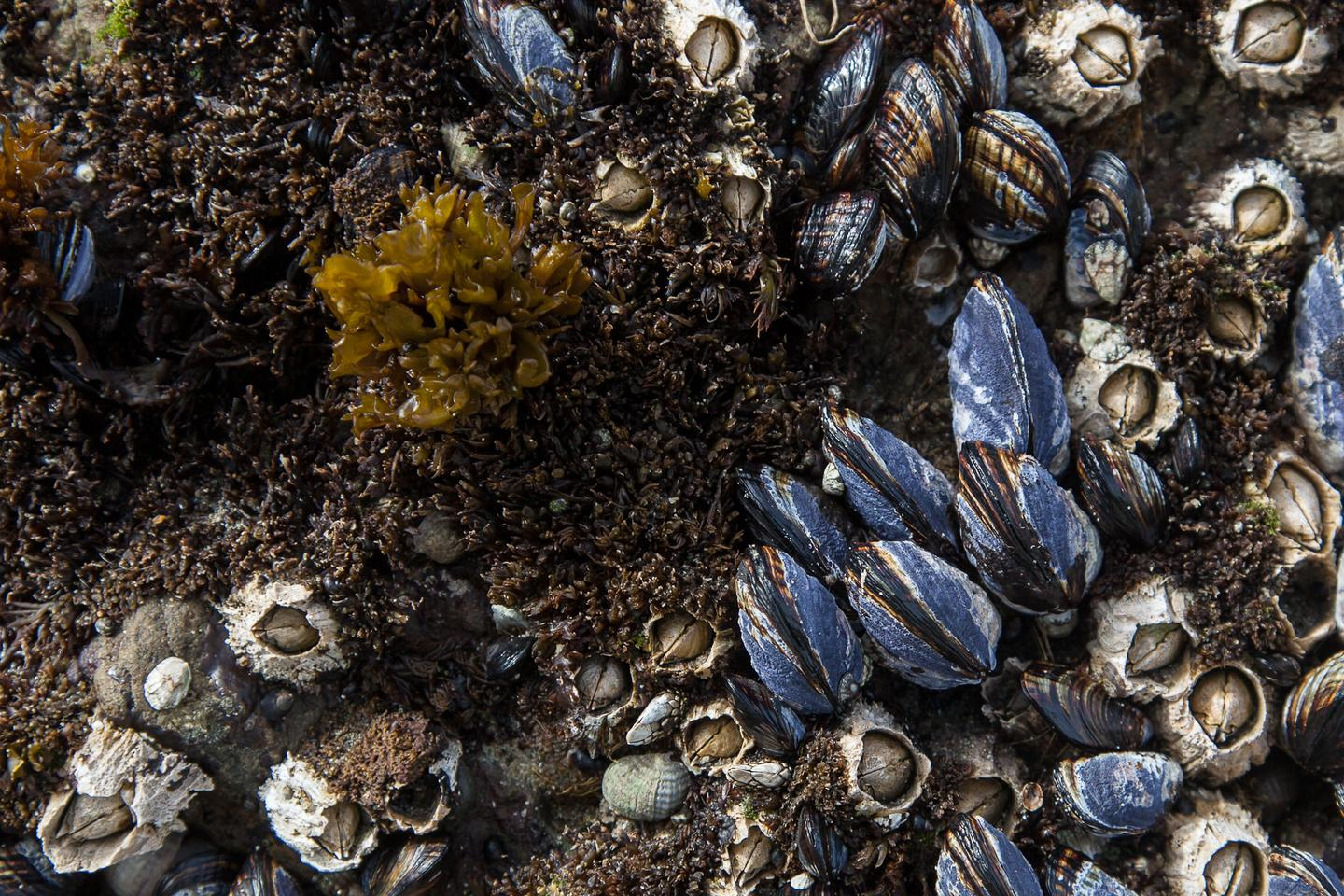 A study has found that mussels that aggregate into reef structures may be far more susceptible to the dangers of plastic pollution