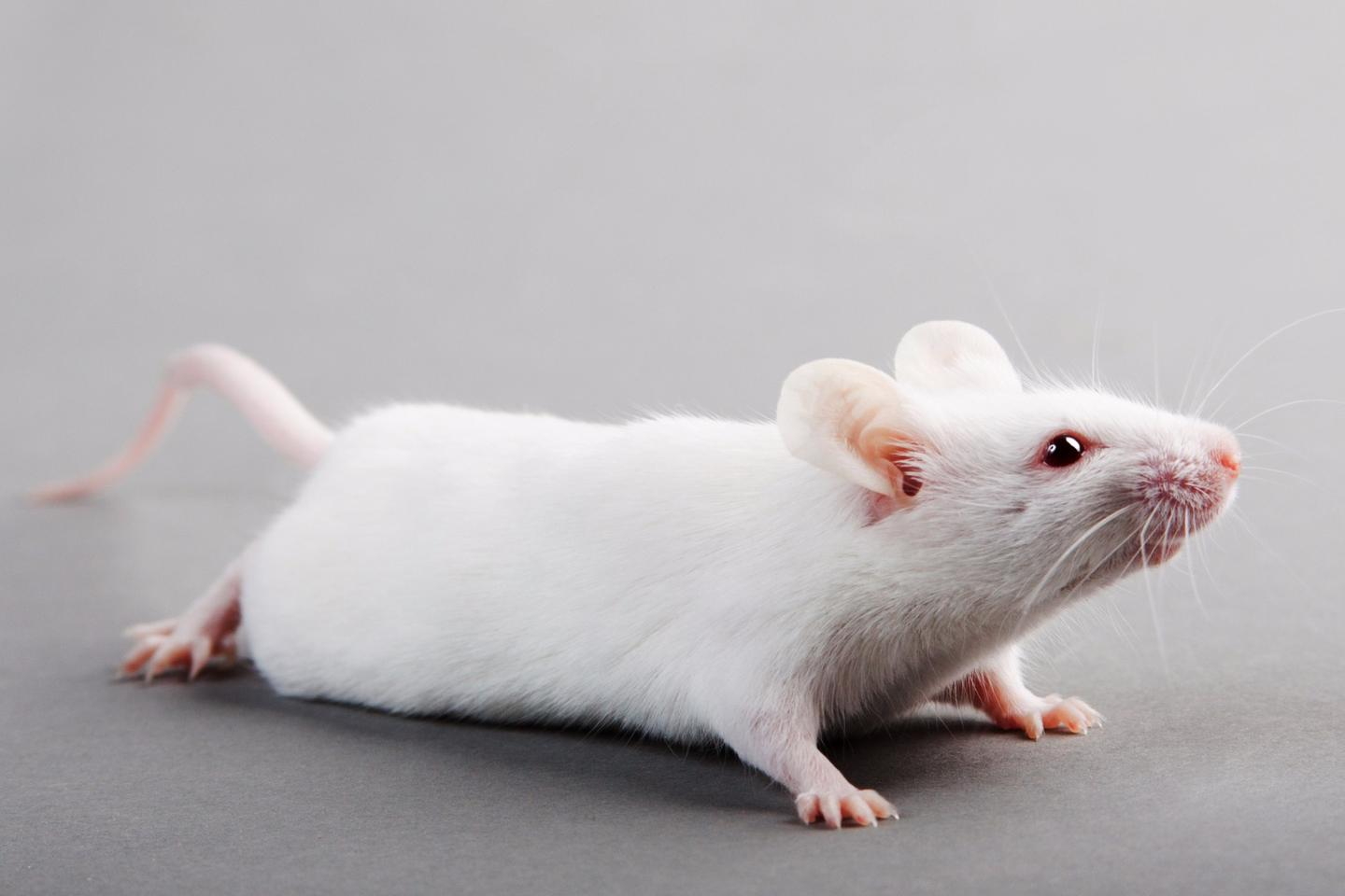 The inhibition in activity of an enzyme called PDE4B, which is also found in humans, has been found to boost intelligence in mice