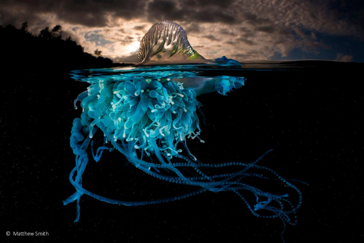 Animal portrait runner-up: Luminous, Bluebottle (Physalia utriculus), by Matty Smith – an eerie image of a bluebottle, also known as a man o'war