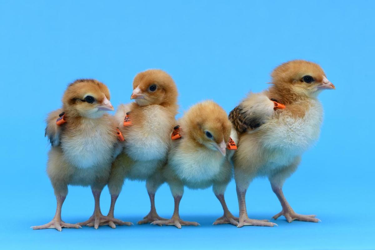 Researchers edited chicken genes to develop hens that produce eggs from different breeds