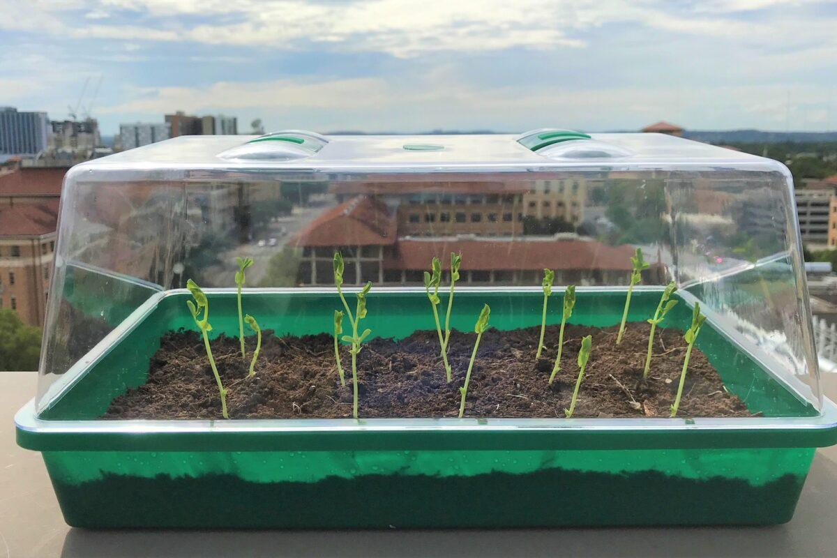 Radishes grow in the SMAG-soil, on the roof of the Cockrell School's Engineering Teaching Center building at UT Austin