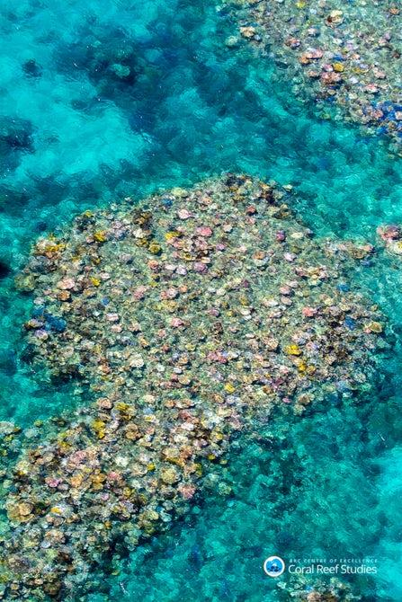 The Great Barrier Reef has suffered through three major bleaching events in modern history